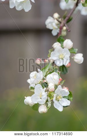 Macro of apple tree white spring flowers on branch