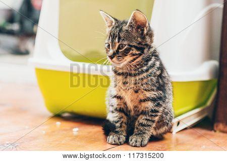 Cute Striped Grey Tabby Kitten