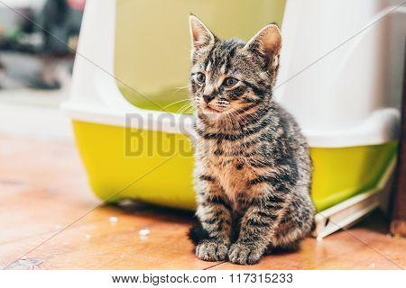 Pretty Little Striped Tabby Kitten