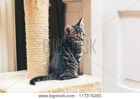 Cute Tabby Kitten With A Scratching Post