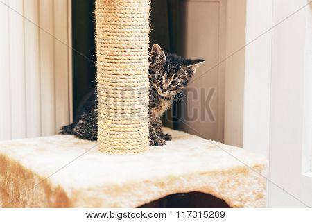 European Kitten Hiding Behind The Scratching Post