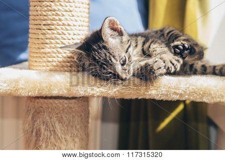 Little Striped Tabby Kitten Lying Relaxing