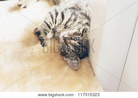 Playful Little Tabby Kitten With Bold Stripes
