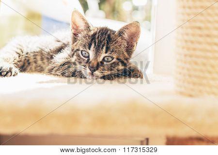 Sleepy Little Grey Tabby Kitten