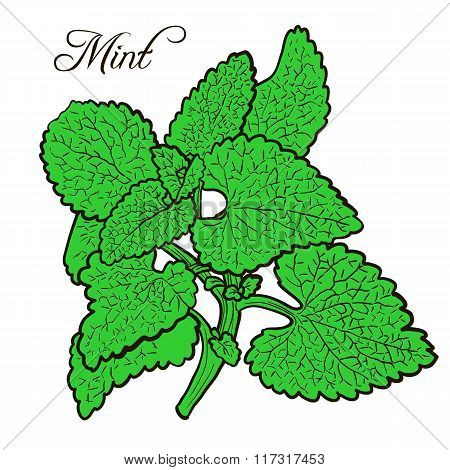 hand drawn mint plant with leaves