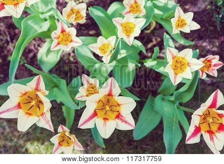 Group Of Garden Tulips