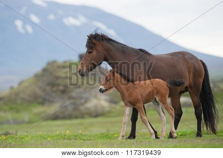 mare and foal on a meadow