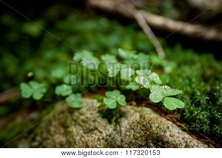 Beautiful green clover closeup