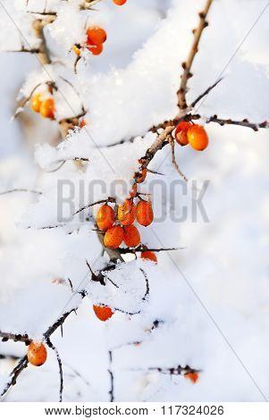 Orange Sea-buckthorns