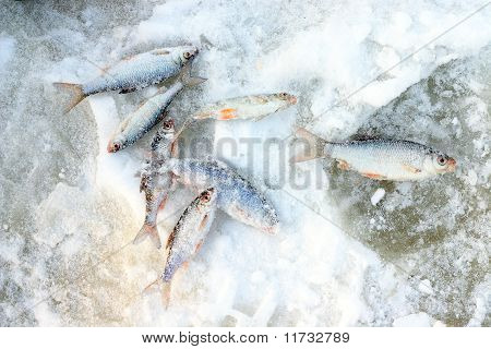 freshly caught fish on the snow