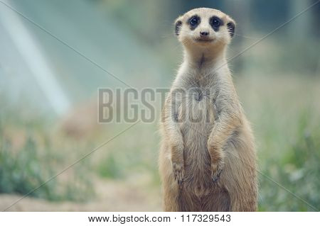 Meerkat or Surikate at the wild nature