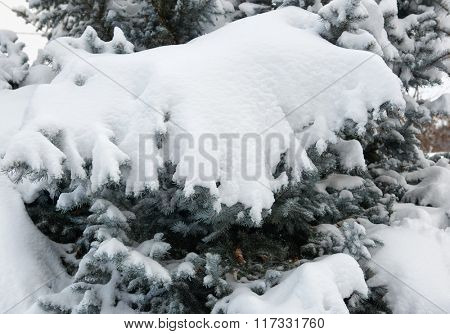 Bright winter landscape. Snowy fir trees in forest. Branches closeup.