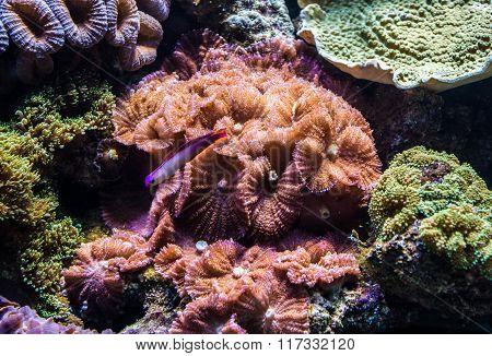 Corals In Aquarium