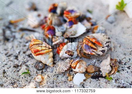 Hermit crabs on white sand beach