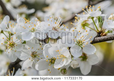 Soft Floral Background With Cherry Flowers