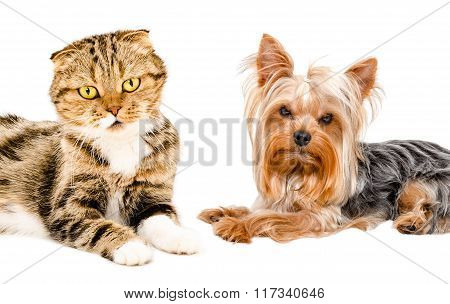 Portrait of cat Scottish Fold and Yorkshire terrier