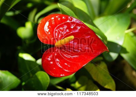 Red Fower In The Form Of Heart Front Green Leaves
