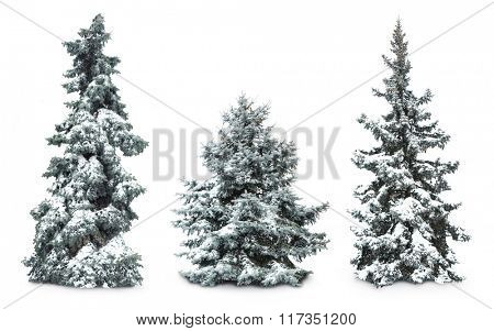 Fir-trees with snow, isolated on white