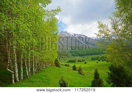 Birch Trees In The Mountains