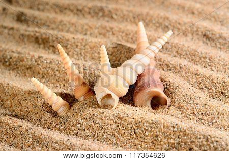 Cone shaped sea shells on the sandy beach