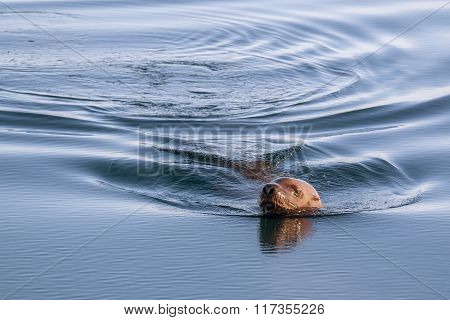 Steller's sea lion swim