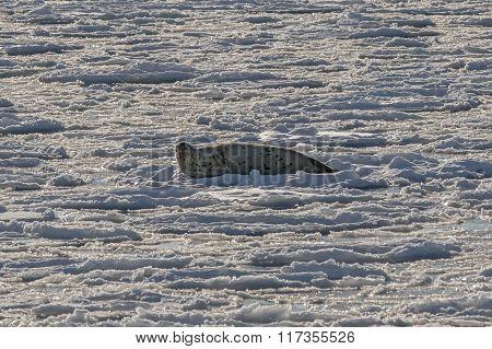seal on ice