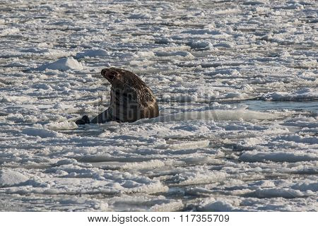 sea lion roars in the ice