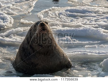 Steller's sea lion swims in the icy sea