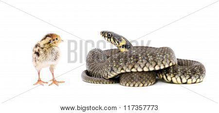 Snake and chicken quail