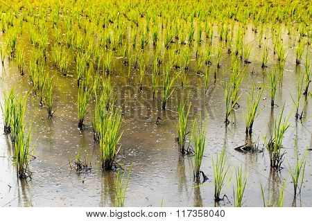 Green Rice Sapling In Cornfield - Agriculture In Thailand