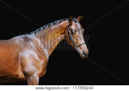Portrait of a beautiful brown horse on a black background with braided mane in halter pin