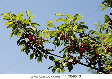 Branch Of Ripe Cherry In A Sunny Day Against The Sky