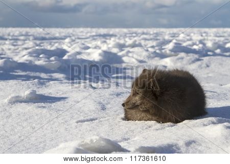 Commanders Blue Arctic Fox That Lies On The Beach On A Background Of Ice Floes Sunny Winter Day