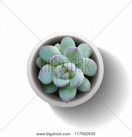Echeveria Succulent Vector2