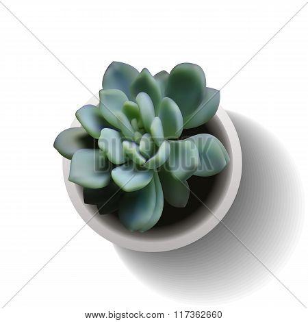 Echeveria Succulent Vector3