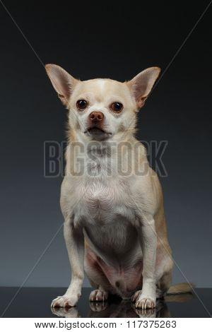 Portrait Little Chihuahua Dog Sitting On Blue Backgroun