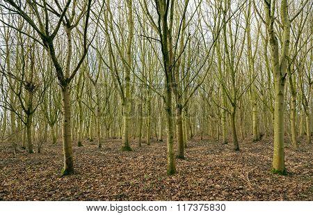 Woodland trees without foliage