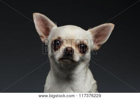 Closeup Portrait Chihuahua Dog On Blue Background