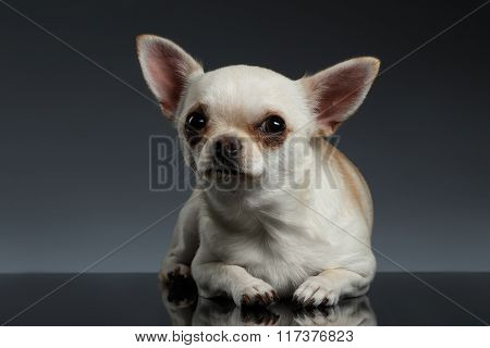Closeup Portrait Chihuahua Dog Lying On Blue Background