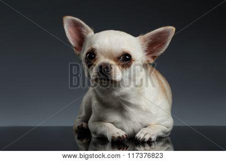Closeup Portrait Chihuahua Dog Lying On Blue Background