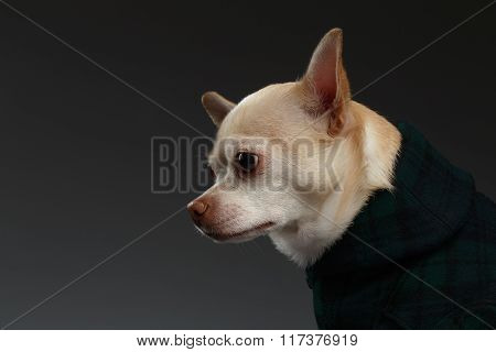Closeup Portrait Chihuahua Dog In Stylish Clothes. Blue Background