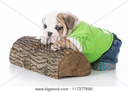 cute english bulldog puppy climbing on wood on white background