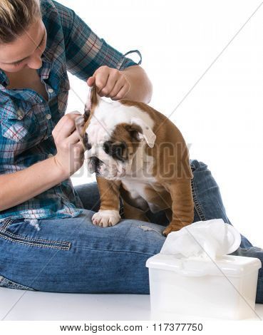 woman cleaning dogs ears on white background