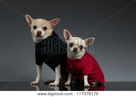 Portrait  Two Chihuahua Dogs In Stylish Clothes. Blue Background