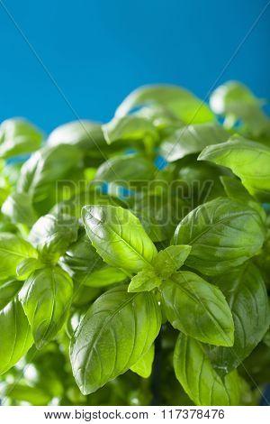 fresh basil leaves wet herb background