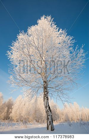 rime on trees