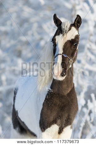 American miniature horse - pinto stallion