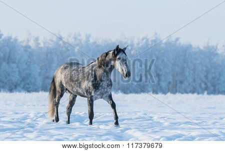 Lonely gray horse walks on the field at winter time