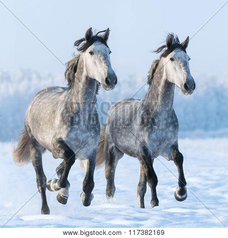 Two galloping dapple grey Spanish horses
