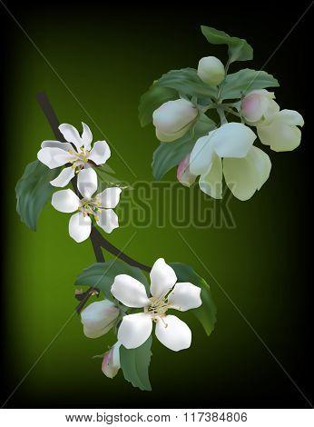 illustration with apple tree blossom on dark background